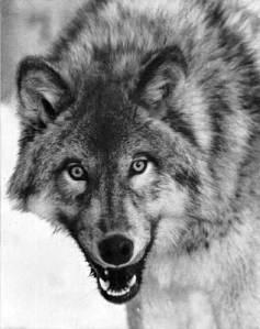 Imágen de un lobo mostrando los dientes en seña de advertencia