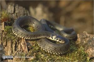 Imagen de serpiente que puede aparecer en sueños.