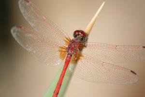 Una libélula naranja descansando sobre hoja puntiaguda puede ser la clave para interpretar un sueño.