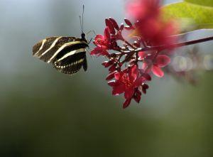 Mariposa cebra alimentándose de una flor escarlata.