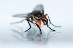 Primer plano de mosca con ojos rojos.