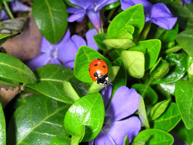 mariquita o catarina roja con puntos negros sobre planta de hojas verdes y flores lila