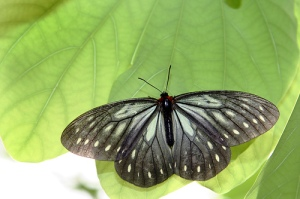 imagen de mariposa negra sobre hojas verdes en primer plano