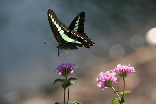 mariposa negra con pintas azules volando sobre flor