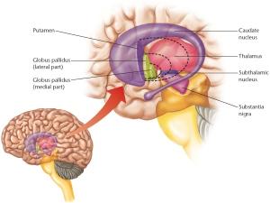 ilustración de la ubicación de los ganglios basales en el cerebro