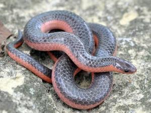 imagen de serpiente roja y negra sobre rocas