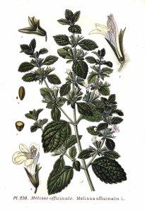ilustración botánica de melissa officinalis