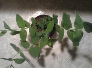 planta de hipérico (hipericum calycinum)